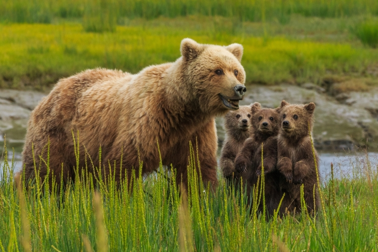 Brown bear sow and cubs, Lake Clark National Park, Alaska, USA A sow alerts her cubs to possible danger nearby.  She huffed and they instantly stood at attention. Sows are very wary of boars who will kill the cubs.  In this case, the rustling she heard was a river otter and its pups.